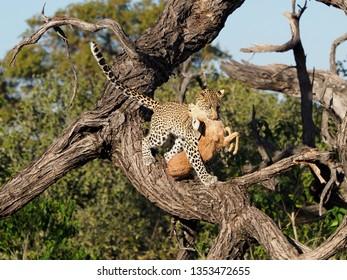 Young Leopard with Steenbok Kill, Khwai Conservancy, Botswana