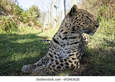 A young leopard in a wide outdoor cage at a wildlife conservation Western Cape, South Africa.
