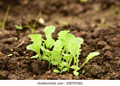 Young Lettuce in the garden.