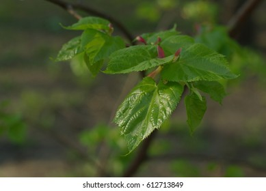 Young lime leaves with a buds