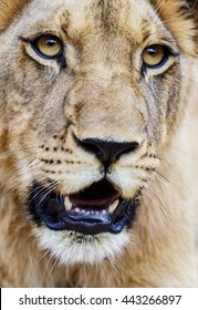 Young lion closeup. Panthera leo