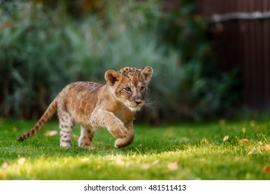 Young lion cub in the green grass on a Sunny day
