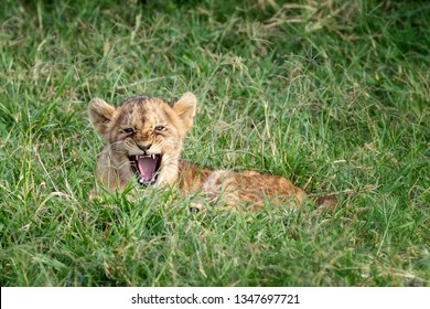 Young lion cub laying in the cool green grass of the Masai Mara, Kenya. Cute baby parcticing a roar or growl but not looking very fierce.