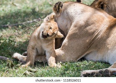 Young lion cub screwed up it's eyes gently cuddling mother lioness