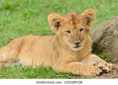 Young lion cub in the wild.