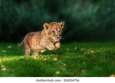Young lion cub in the wild and green glass