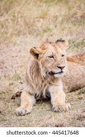 Young lion during a safari in Tanzania