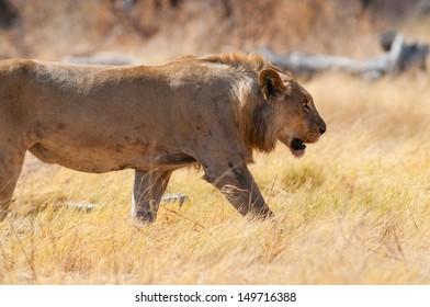 young lion in etosha national park namibia