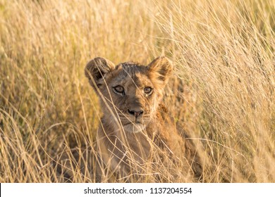 A young lion hinding in the grass of the Central Kalahari Game Reserve