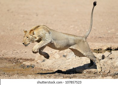A young Lion Jumping over a puddle of water in the Kalahari
