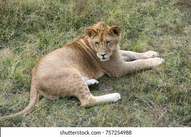 Young lion lying in dry grass.