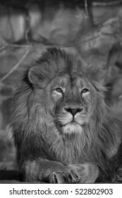 Young lion, lying in sunset light. Beauty of wild nature. King of beasts, the biggest cat and the most dangerous raptor of the world. A portrait of the expressive animal. Black and white image.