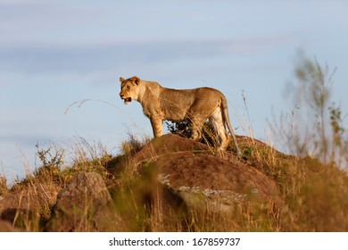Young Lion on the rocks of Sandriver looking to his  big pride in Masai Mara, Kenya