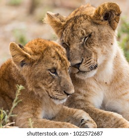 Young  lion sibiling cute cubs, brother sister love, face close up,  head shot portrait , October 2017, Masai Mara, Kenya, Africa