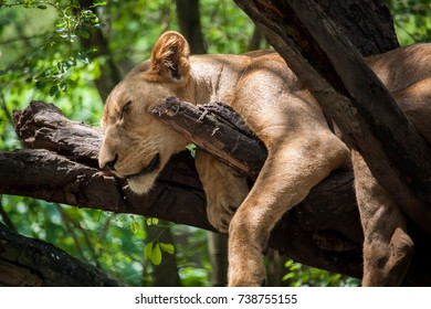 young Lion sleep on the tree
