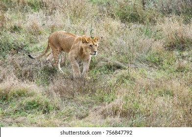 Young lion standing among dry grass.