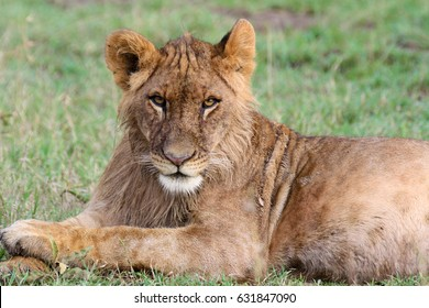 A young lion stares down the camera. Ol Pejeta Conservancy, Kenya.