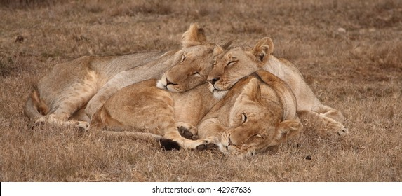 Young lion and two lionesses sharing a snooze.