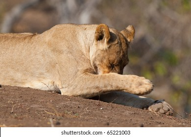 A young lioness covering her nose with her leg