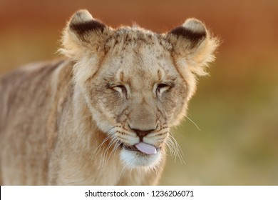 young lioness funny portrait close up