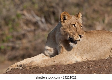 A young lioness resting on a river bank