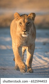 Young Lioness in the Savuti area of Botswana