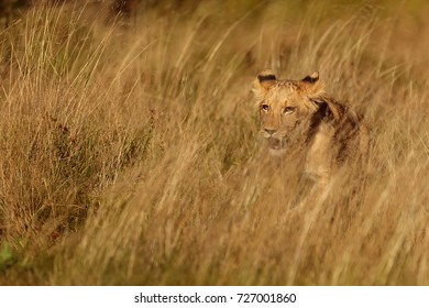 young lioness wont to hunting some prey