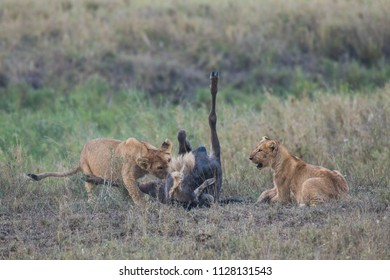Young lions eating prey wildebeest