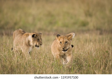 Young lions moving through a savannah in Masai Mara Game Reserve, Kenya
