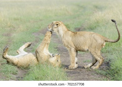 Young lions (Panthera leo) playing together, Masai Mara national reserve, Kenya
