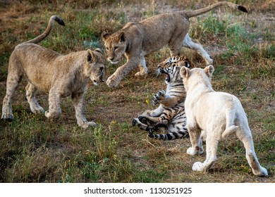 Young Lions playing with young tiger