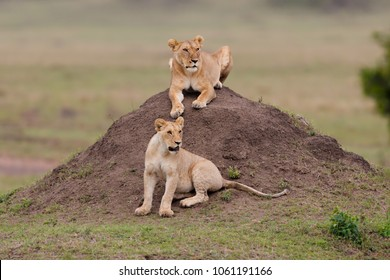 Young Lions of Rekero Pride. Pride of Lion Lipstick and Blackie, in Masai Mara, Kenya