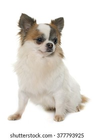 young little chihuahua in front of white background