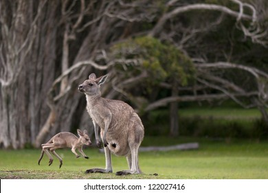 Young, Little Joey Jumping Around Its Mother