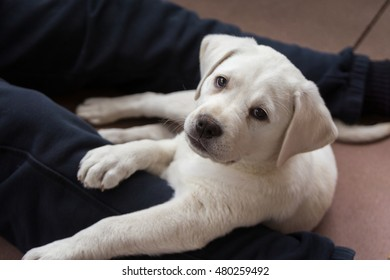 Young little Labrador puppy lying on legs of the holder
