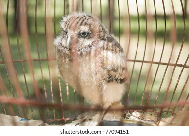 A young little owl in a cage, Argentina