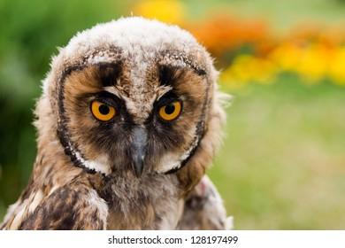 Young long eared owl