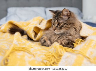 Young Long Haired Tabby Cat Hiding in Yellow Blanket