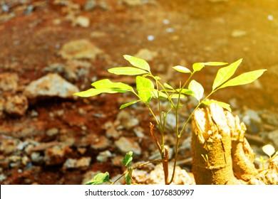 how to grow longan tree
