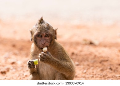 Young long-tailed macaque (Macaca fascicularis) eating lotus seed