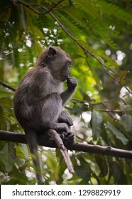 Young Long-tailed macaque monkey sitting on tree branch. This long-tailed brown macaque, is a cercopithecine primate native to Southeast Asia. Shot on Langkawi Island, Malaysia in the wild