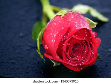 A Young Lovely Rose With Early Morning Dew Drops Closeup