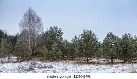 young low pines and first snow