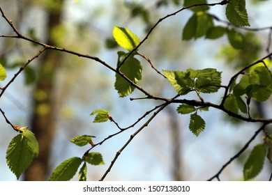 Young lush, green foliage in the spring.