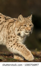 A young lynx is attentively in the forest