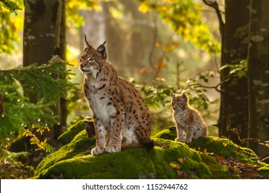 Young lynx behaved behind the lynx