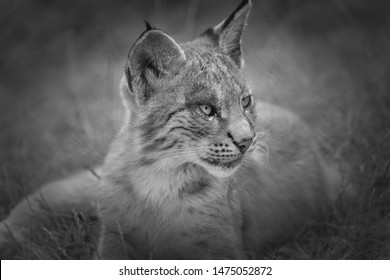 young lynx in black and white