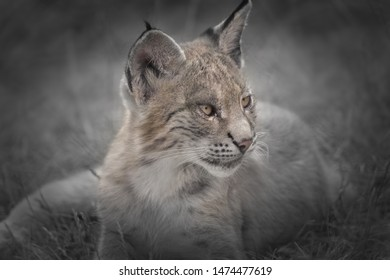 young lynx in black and white and colored