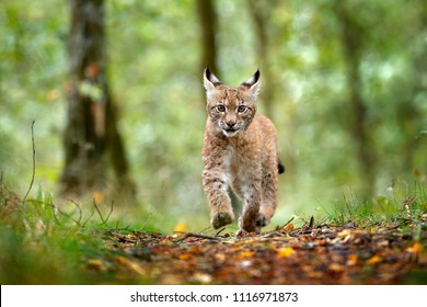 Young Lynx in green forest. Wildlife scene from nature. Running Eurasian lynx, animal behaviour in habitat. Cub of wild cat, Germany. Wild Bobcat between the trees. Hunting carnivore in autumn grass.