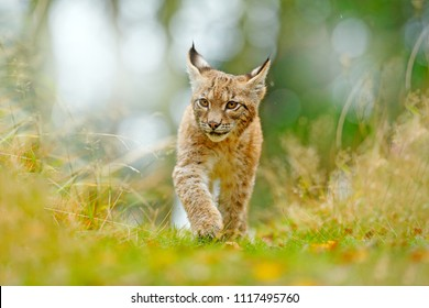 Young Lynx in green forest. Wildlife scene from nature. Walking Eurasian lynx, animal behaviour in habitat. Cub of wild cat from Germany. Wild Bobcat between the trees. Hunting carnivore in grass.